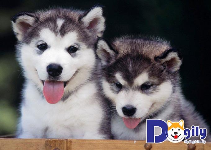 Chó con đẹp Alaska
