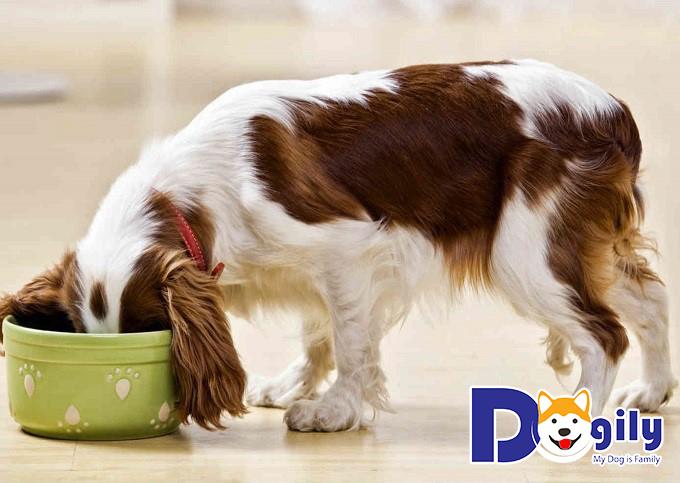 Cho cún ăn thức ăn khô