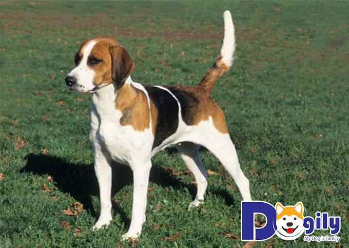 Chó săn Cáo Anh Quốc