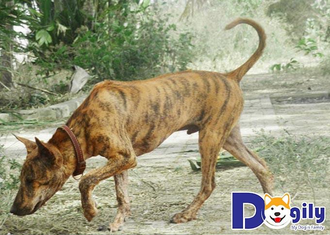 Chó săn Phú Quốc