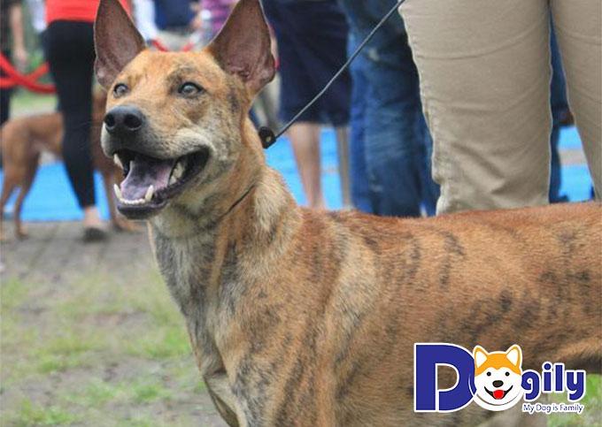 Chó săn Tây Ninh