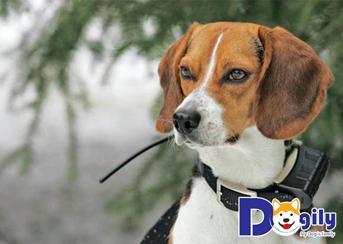 Chó săn thỏ Beagle - top 14 giống chó săn tốt nhất