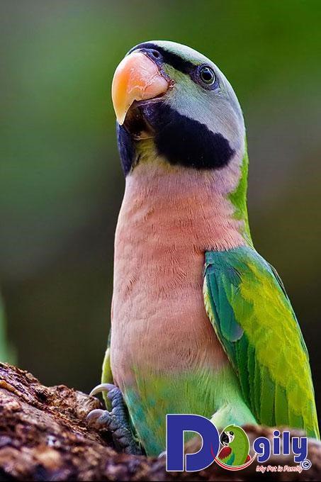 Cho vẹt ăn phù hợp theo giai đoạn