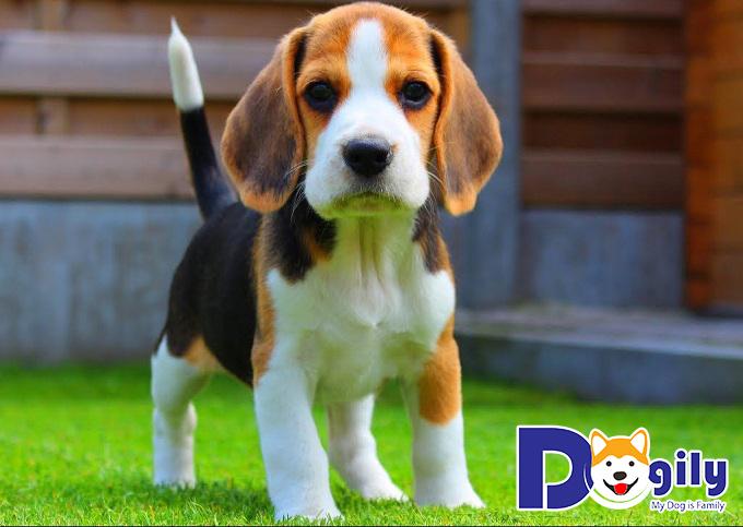 Chú chó Beagle làm đốn tim cộng đồng