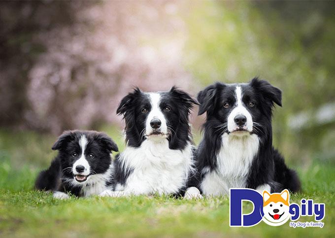 Chú chó Border Collie thông minh, tinh nghịch và đáng yêu