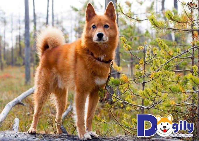 Chú chó Finnish Spitz thuộc các giống chó đẹp nhất