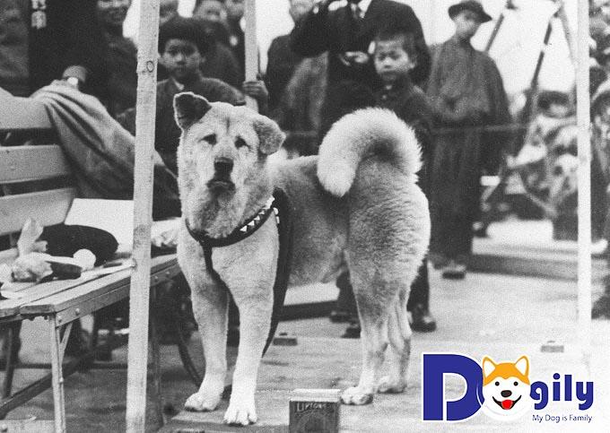 Chú chó Hachiko năm đó