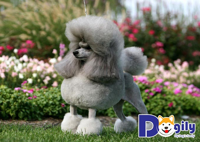 Chú chó đáng yêu được tỉa lông cực độc đáo