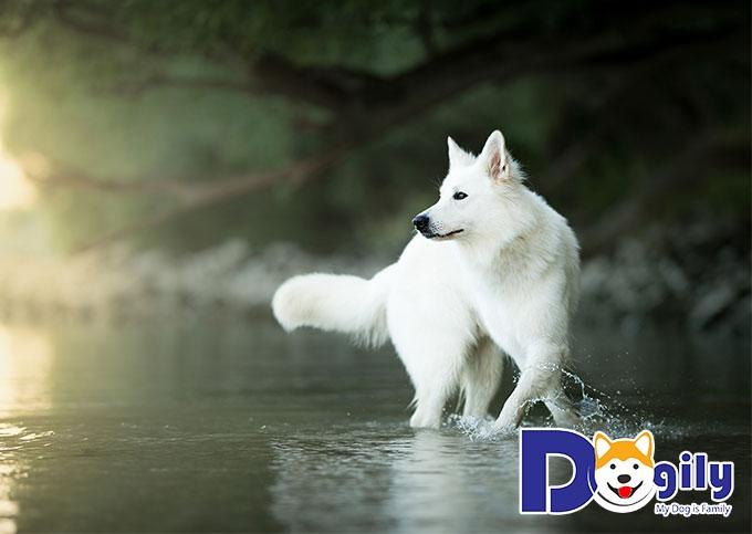 Chú chó lông trắng Berger Blanc Suisse cực đẹp