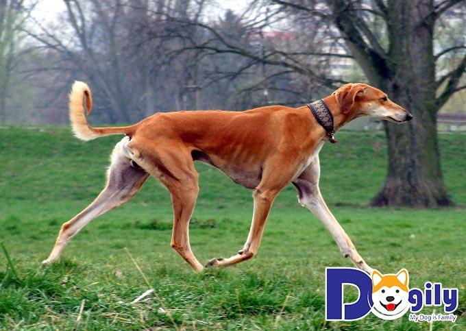 Chú chó săn Pharaoh