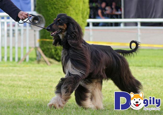 Chú chó săn dễ thương với bộ lông dài
