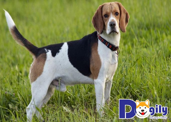 Chú ý vệ sinh sạch sẽ cho bén Beagle của bạn sau mỗi lần đi chơi về