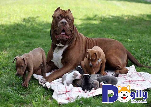 Có nhiều yếu tố tác động đến giá chó Pitbull