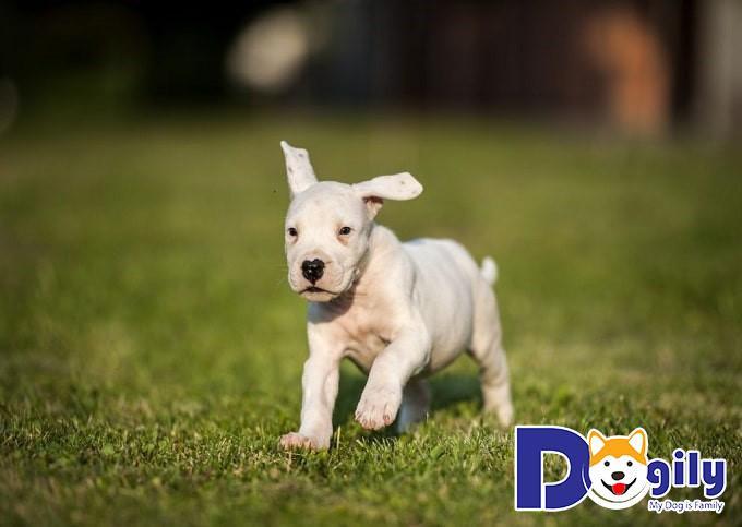 Đặc điểm ngoại hình của chó Dogo Argentino thuần chủng
