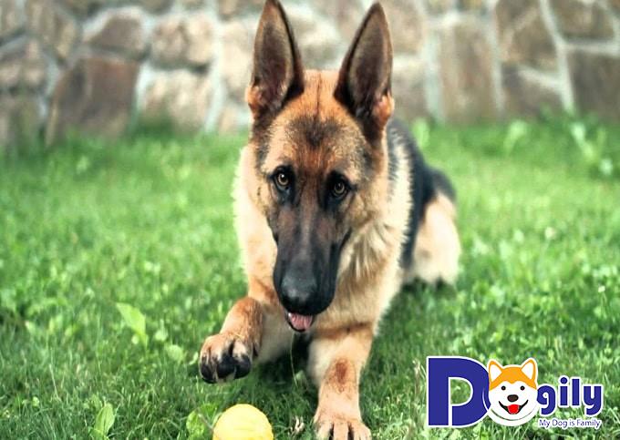 Chó Becgie con có giá chỉ từ 6-12 triệu tùy theo ngoại hình và gia phả