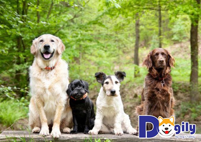 Dịch vụ mua bán chó cảnh tại Dogily