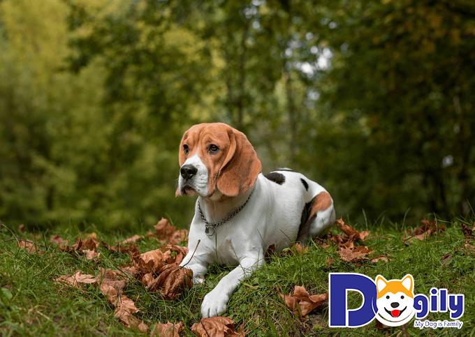 Đôi tai rộng và dài cụp xuống cửa Beagle