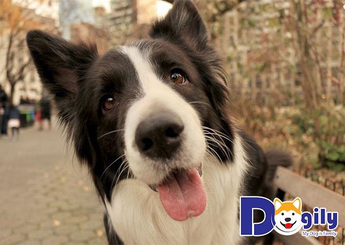 Đứng đầu trong danh sách những loài chó thông minh và khôn nhất là chó chăn cừu Border Collie