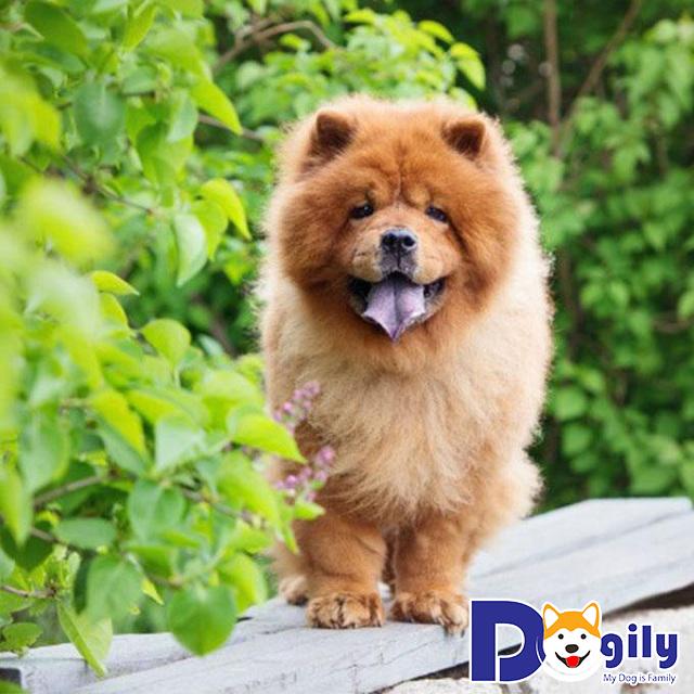 Giá Chó Chow Chow trên 25 triệu đồng thường là các em được nhập khẩu