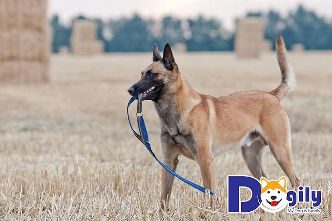 """Giá chó Béc Bỉ """"Malinois"""" là vấn đề được nhiều người quan tâm"""