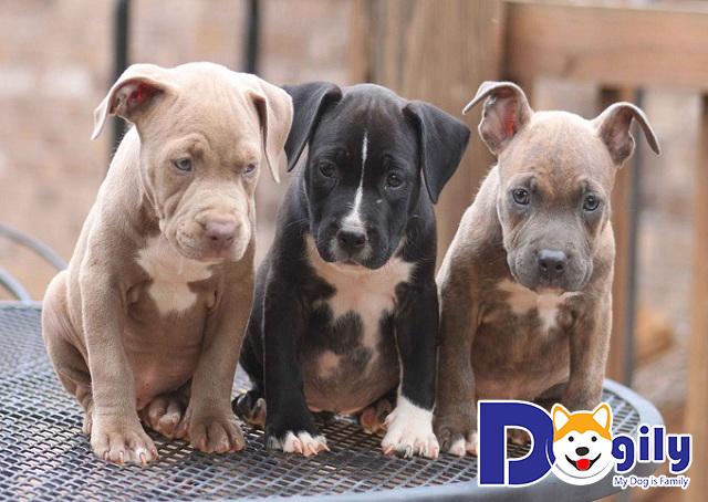 Giá chó Pitbull con