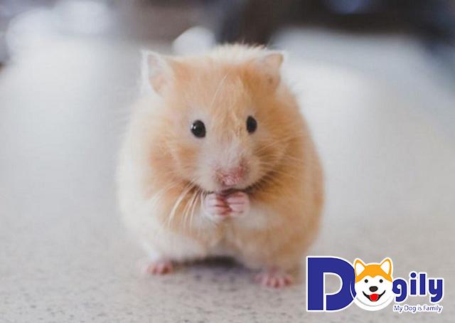 Bạn có biết giá chuột Hamster ở Việt Nam bao nhiêu chưa?