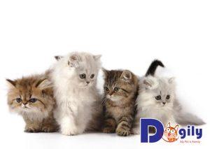 Giá trung bình của mỗi chú mèo Anh lông dài hiện vào khoảng 4 đến 7 triệu đồng