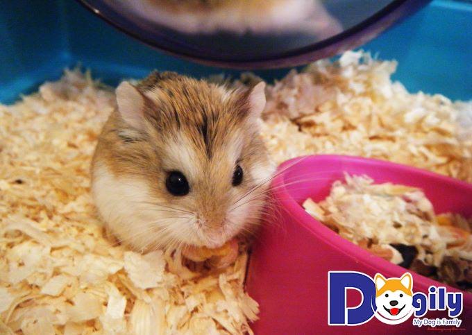 Giao tiếp với các bé Hamster thường xuyên