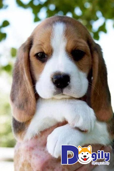 Giống Beagle giá bao nhiêu tiền?