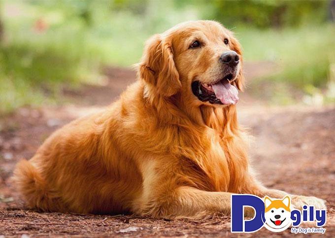 Giống chó Golden Retriever sở hữu trí thông minh vượt trội và bản tính hiền lành