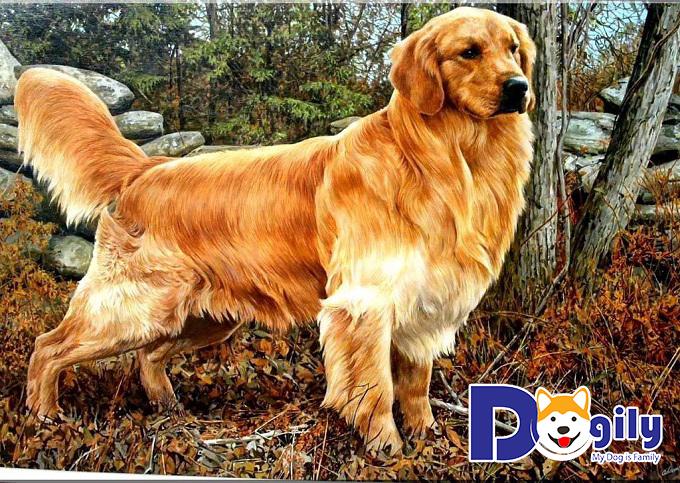 Golden Retriever lọt top những loài chó đẹp nhất
