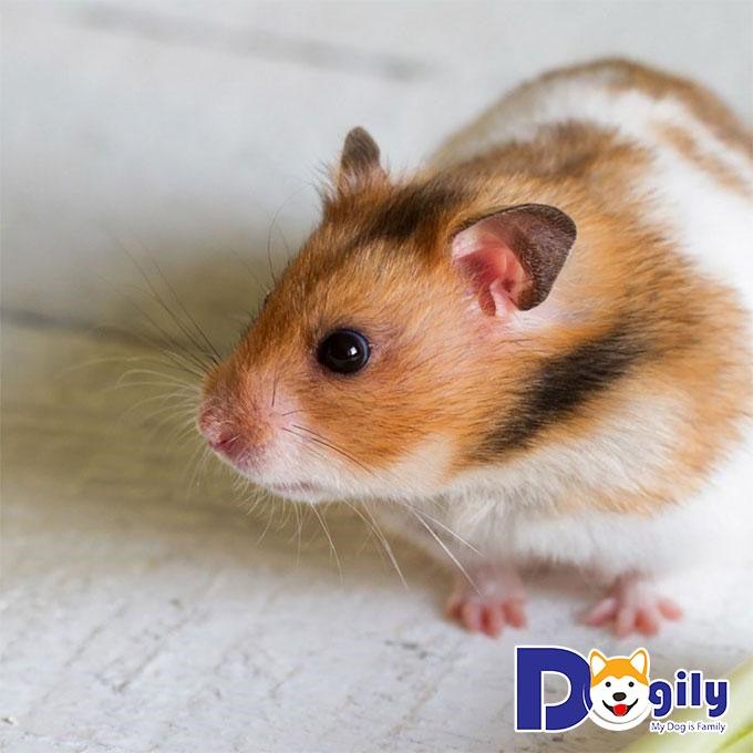 Hamster được nhiều gia đình nuôi làm thú cưng