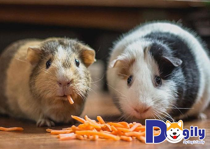 Hamster rất tham ăn và dễ béo