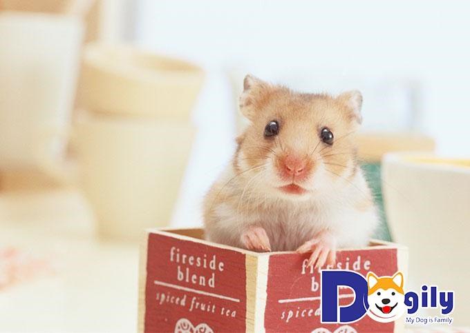 Hamster thường sống đơn độc