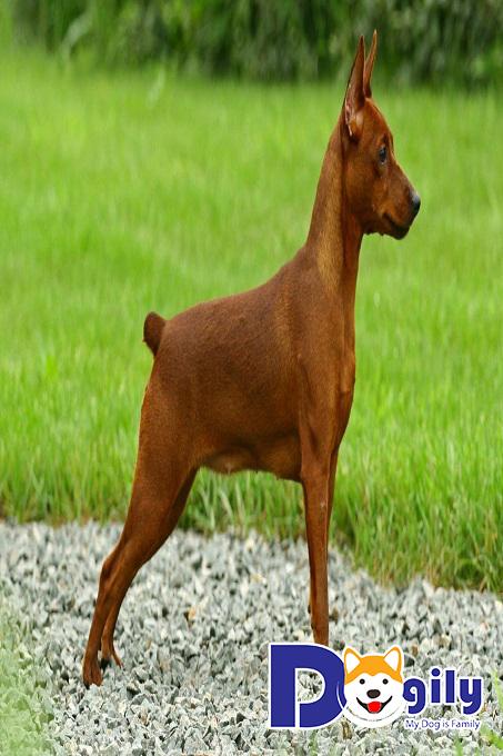 Hình ảnh chó phốc Châu Âu