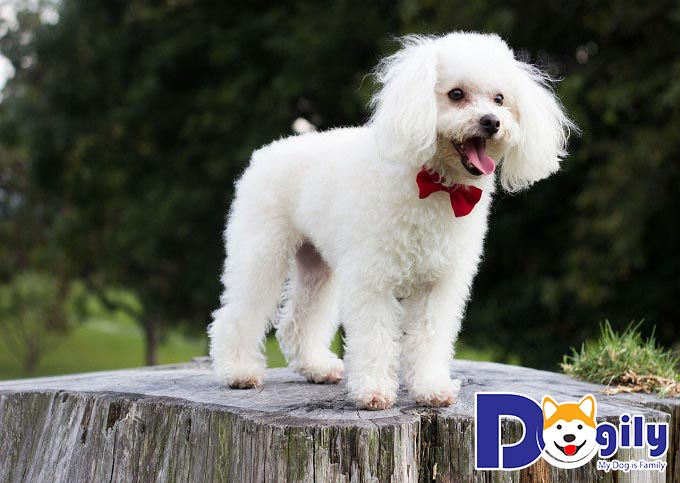 Hình chó dễ thương Poodle