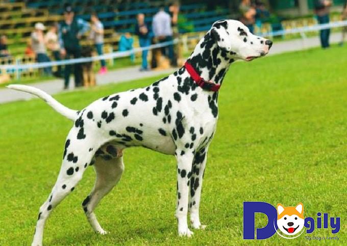 Hướng dẫn cách chăm sóc chó Đốm