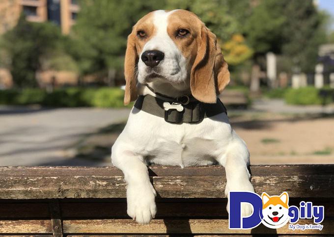 Hướng dẫn chăm sóc bé Beagle đúng cách