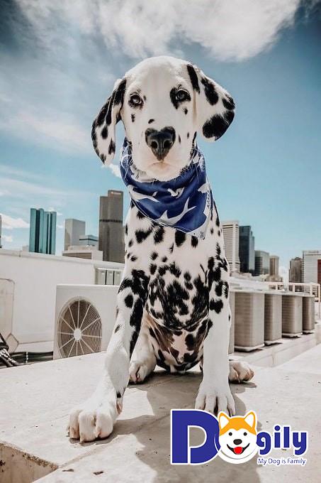 Kinh nghiệm chọn chó Đốm đạt chuẩn và dễ nuôi