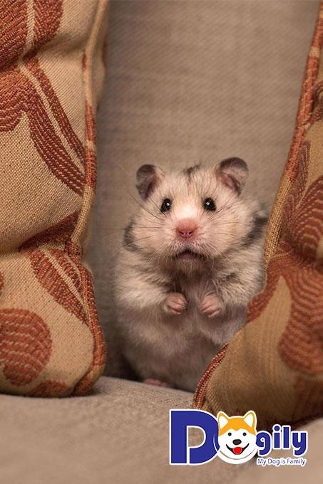 Làm thế nào để chăm sóc các bé Hamster nuôi bị bệnh?