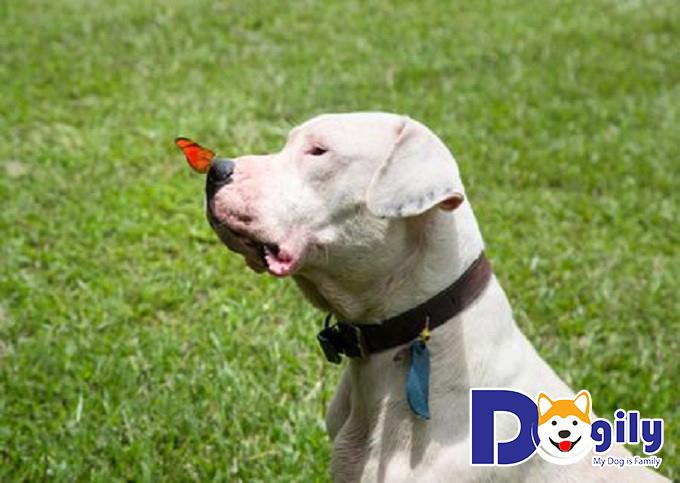Chó Dogo Argentino – Giống chó săn mạnh mẽ đầy thu hút