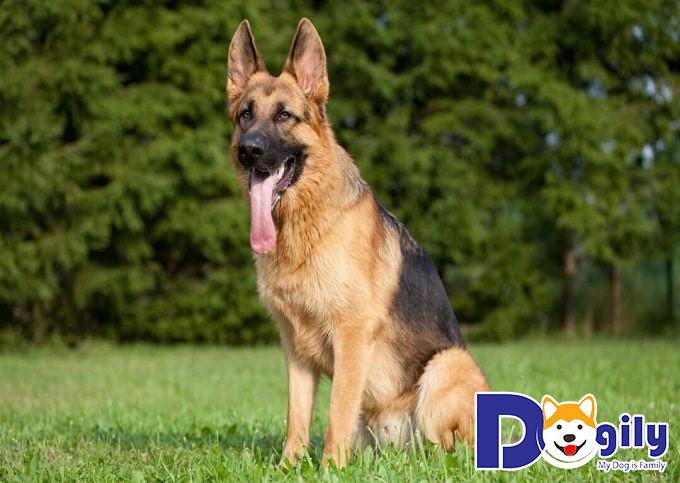 Chó Becgie trưởng thành đã phát triển hoàn thiện và nếu được huấn luyện bài bản sẽ có giá cao hơn nhiều so với giá chó con.