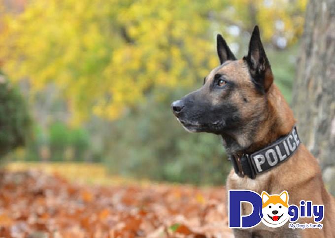 Liên hệ mua bán chó Béc Bỉ tại Dogily