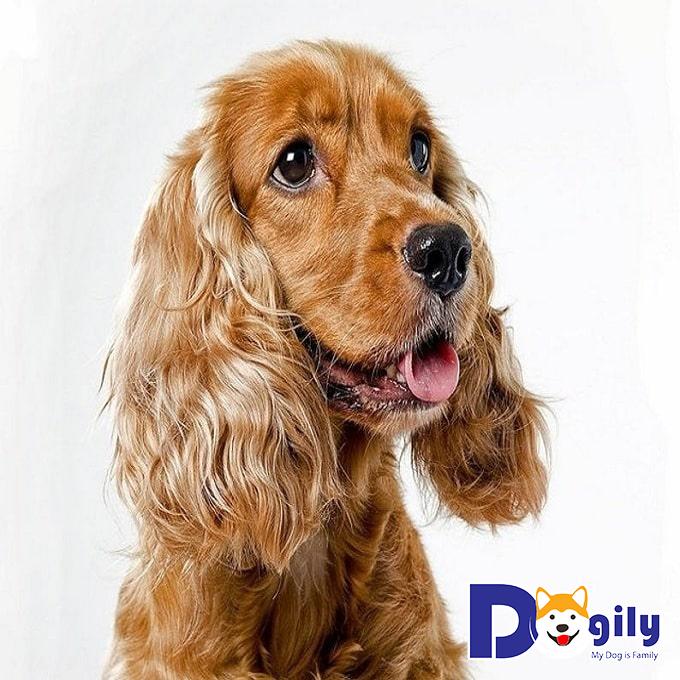 Liên hệ mua bán chó Cocker tại Dogily