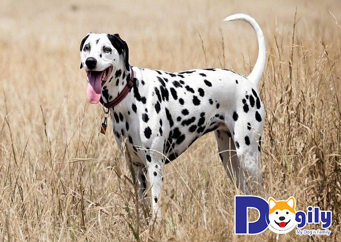 Liên hệ mua bán chó Đốm tại Dogily