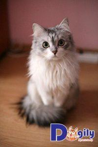 Mèo Anh lông dài là phiên bản được lai tạo từ mèo Anh lông ngắn