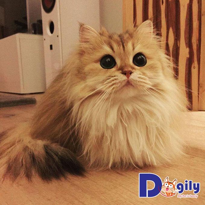 Cập nhật bảng giá mèo Anh lông dài mới nhất tại Dogily.vn