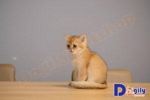 Mèo Golden là gì?