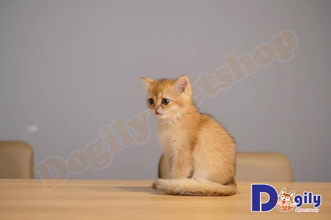 Tìm hiểu thông tin về mèo Golden – Giá mèo Golden