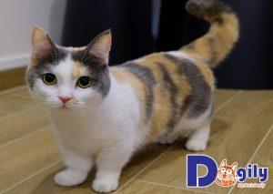 Mèo Munchkin chân ngắn